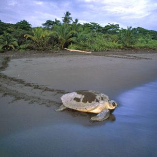green-turtle-in-tortuguero