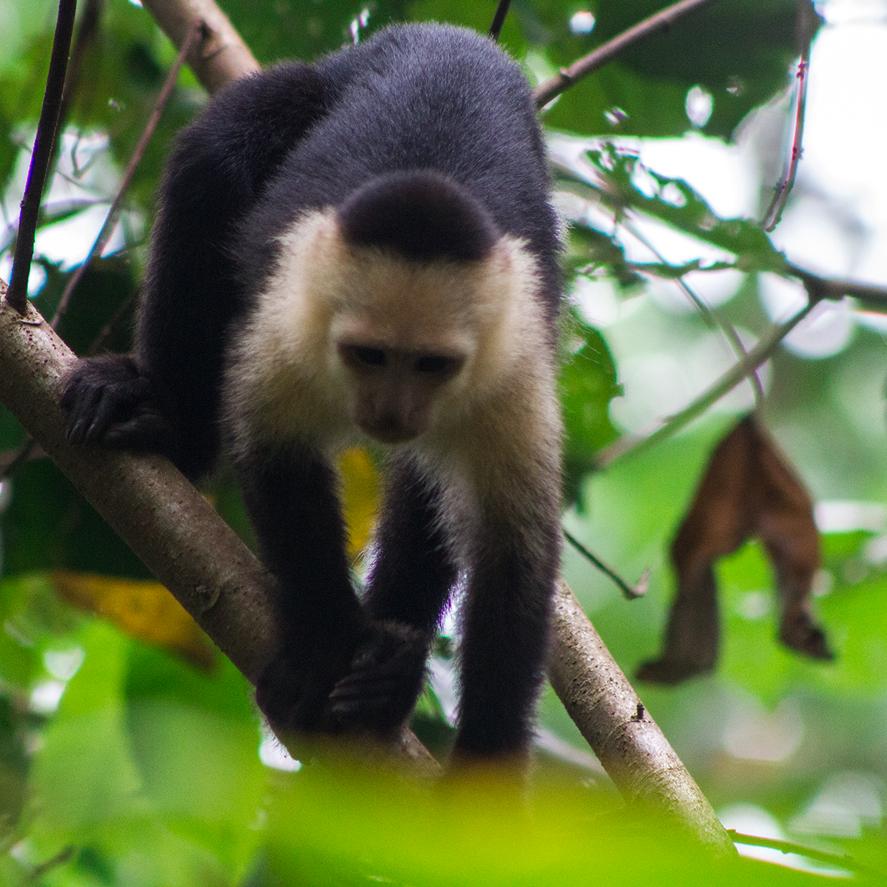 Monos tortuguero costa rica